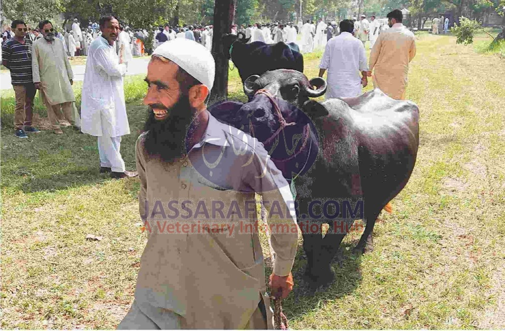 Buffalo auction at PM House