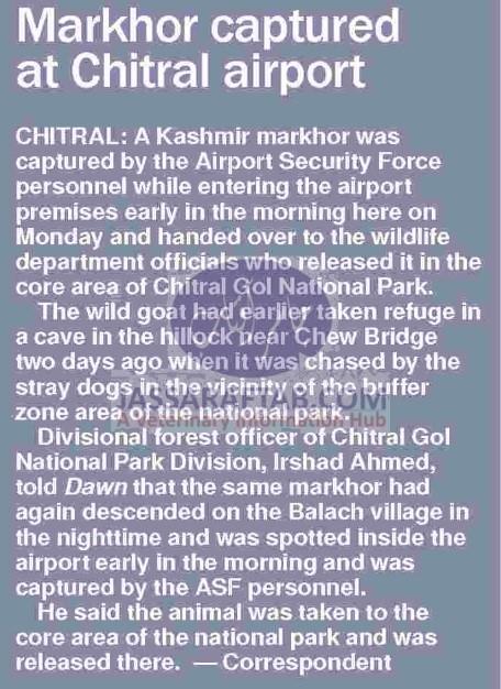 Markhor captured at chitral airport