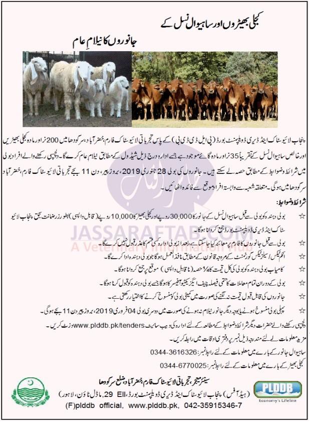 Sale of Kajli Sheep and Sahiwal Cow