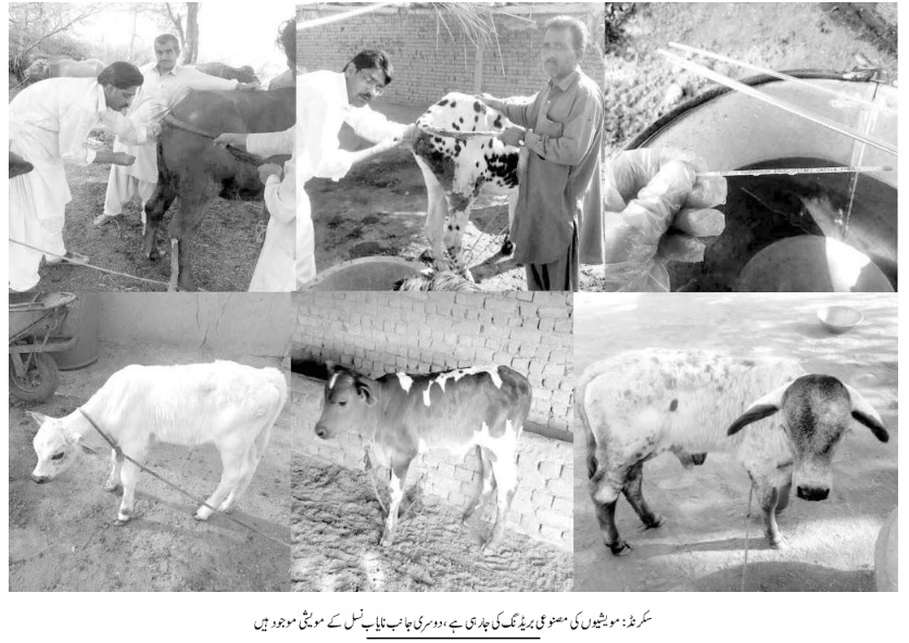 Livestock breeding