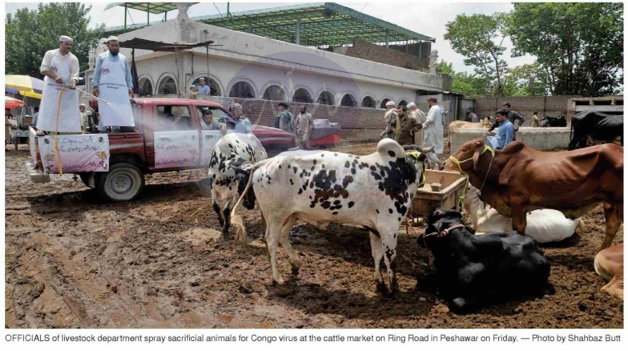 Spray on sacrificial animals for Congo virus at cattle market