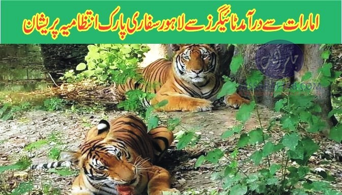 Tigers imported from UAE