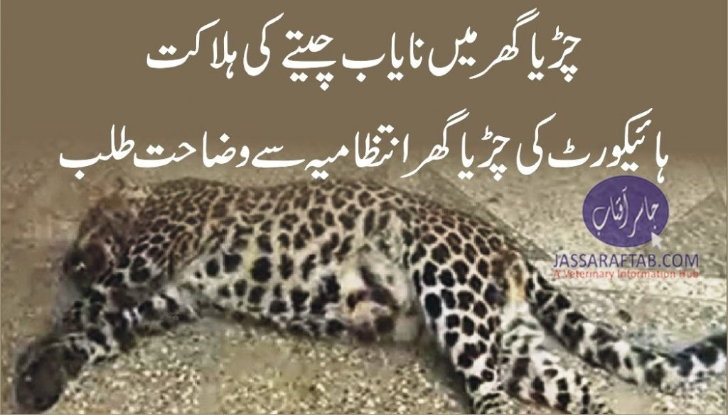 Common leopard death in zoo