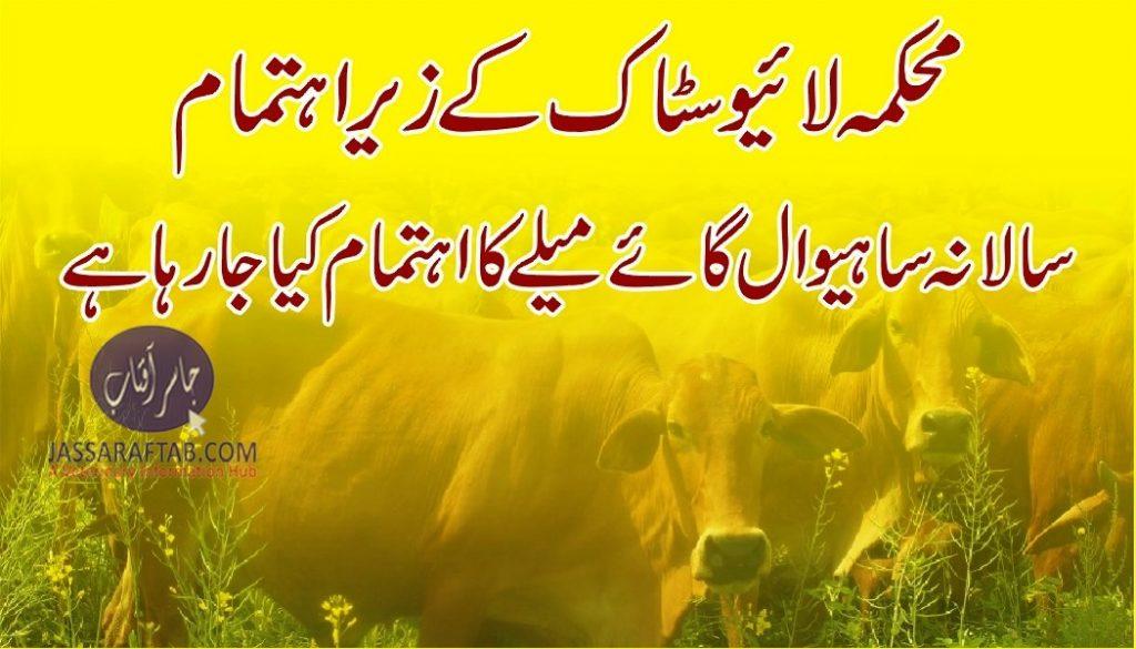 Sahiwal Cattle show