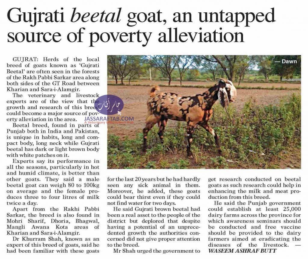Gujrati Beetal Goat