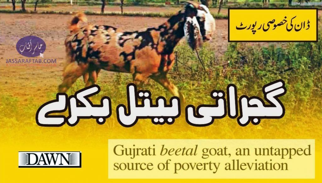 Gujrati Beet Goat