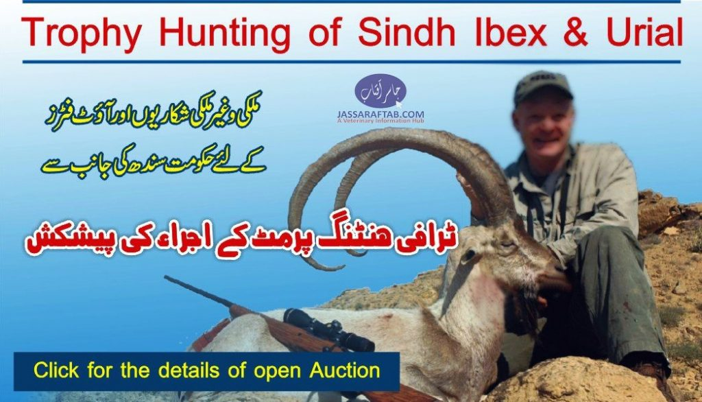 Trophy hunting of Sindh Ibex and Urial (1)