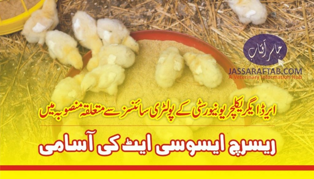 asil chicken feed efficiency project