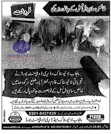 sahiwal breed of cow