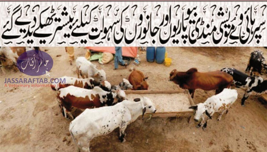 Karachi's Superhighway cattle market