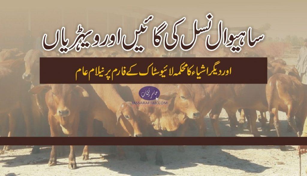 sahiwal heifers sales