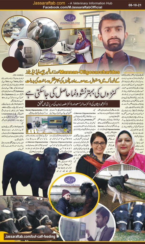 Research on fattening of buffalo calves